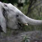 В южнокорейском зоопарке научили говорить слона!